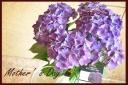 母の日の贈り物に 紫陽花『ディープパープル』