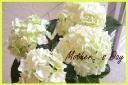 母の日お勧め 紫陽花『天使のほっぺ』
