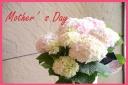 母の日の贈り物に 紫陽花『コットンキャンディー』