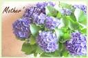 母の日お勧め 紫陽花『ディープパープル』 L
