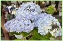 大人気! 紫陽花『万華鏡』