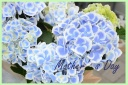 母の日の贈り物に 紫陽花『ちぼり ブルー』