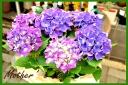 母の日お勧め 紫陽花 パープル