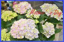 母の日に♪ 紫陽花『マジカルレボリューション』