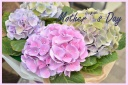 母の日お勧め 紫陽花『西安』