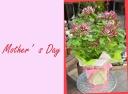 母の日お勧め クレマチス『花炎カエン』