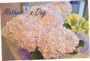 母の日大人気! 紫陽花『万華鏡』①