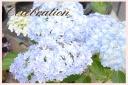 お祝いの花に 紫陽花「万華鏡」