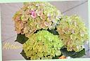 母の日お勧め! 紫陽花カゴ付「マジカル」