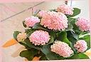 母の日お勧め♪ 紫陽花『レボリューションピンク』