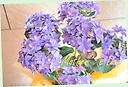 紫陽花「ダンスパーティー パープル」