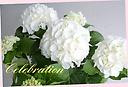母の日お勧め! 紫陽花『シュガーホワイト』