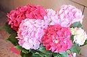 母の日ギフト♪ 紫陽花『レッドピンク』