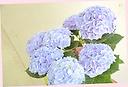 紫陽花「西安」