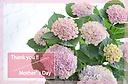 母の日にお勧め!紫陽花【 ハイドランジア ピンク 】