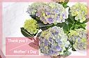 母の日に!紫陽花【ハイドランジア ブルー】