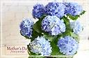 青の可愛い紫陽花!クレイジーテンシア◎