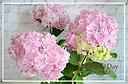 2個限定特別入荷!紫陽花~ピンク色の万華鏡~