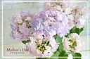 母の日に優しい色味の紫陽花を◎ケイコブルー!