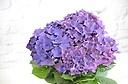濃い色が素敵な紫陽花!ディープパープル!