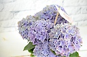 コンパクトに可愛い青の紫陽花を♪