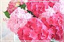 2色のあじさい ピンク&赤