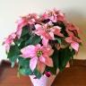 当店おすすめ!ピンクのポインセチア鉢