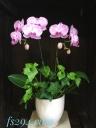 ご自宅にも飾りやすいサイズ!ミニ胡蝶ラン鉢(ピンク