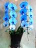 胡蝶蘭ブルー 2本立ち