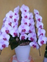 ピンク胡蝶蘭 3本立ち