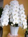 白3本立ち胡蝶蘭