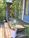 *.:・.。*・.フランスゴムの木。**.: