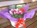 「迎春」 寄せ鉢 シクラメンと葉ボタン