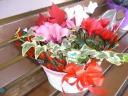 「クリスマス」寄せかご シクラメン ポインセチア