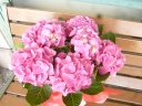 ジップ」という名前の 濃いピンク花 あじさい