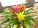 花の 美しい! 観葉植物 グズマニア