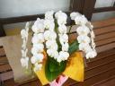 気品高い 胡蝶蘭 ミディタイプ 白花