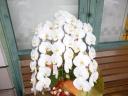 気品ある「蘭」 胡蝶蘭 有力生産者の白花