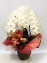 鉢物【胡蝶蘭H005】白3本立 赤系