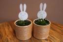希少【うさぎの形の花が咲く・ウサギゴケ】2個セット