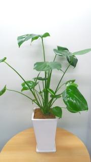 観葉植物 モンステラ陶器鉢(W)+陶器受皿セット