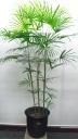 雲南棕櫚竹(ウンナンシュロチク)鉢カバー付