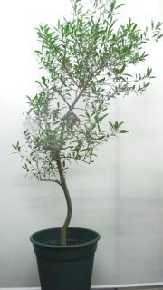 """オリーブ鉢植え""""ネバディロ・ブランコ""""①"""