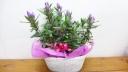 紫リンドウの寄せ鉢