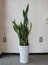 サンスベリア鉢