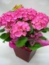 紫陽花の鉢