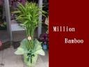 ☆幸福植物♪ミリオンバンブー☆8号サイズ