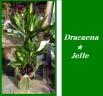 ドラセナジュレ7号★新品種 幸福の木のサラブレッド