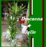 ドラセナジュレ8号★新品種 幸福の木のサラブレッド