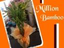 ☆幸福植物♪ミリオンバンブー☆小さめサイズ